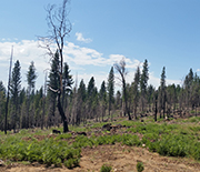 A thin mixed-conifer forest one year after a medium-intensity fire in Yosemite National Park.