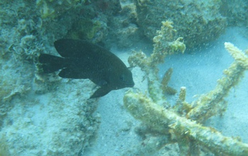 A longfin damselfish.