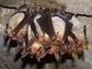 group of greater mouse-eared bats hanging upside down