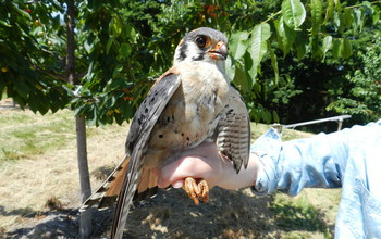 A male kestrel perched on a human hand.