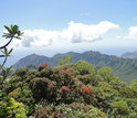 Metrosideros (red-flowering tree in center and others) near the highest peak on O'ahu