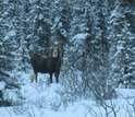 moose in a forest with snow