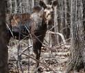 a moose behind trees