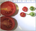 Wild tomatoes and domesticated tomatoes shown in different sizes