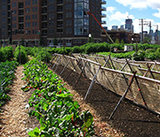 Residents of Chicago tend urban farms planted between city buildings.