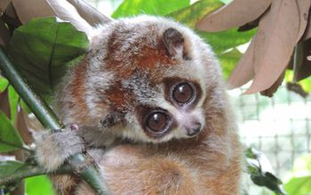 pygmy slow loris clinging to a branch