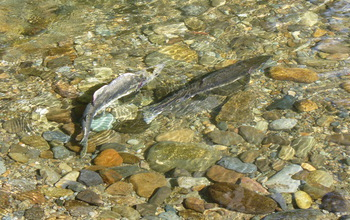 A female pink salmon moving sediment to build a nest.