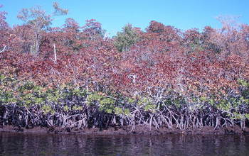 A cold snap in the Florida sub-tropics affected mangrove and other ecosystems.