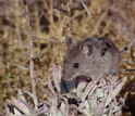 Mice-o-scapes--understanding small mammal ecology over the past 100 years--is another new project.