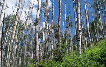A Dying Trembling Aspen Forest Near Dolores Colo
