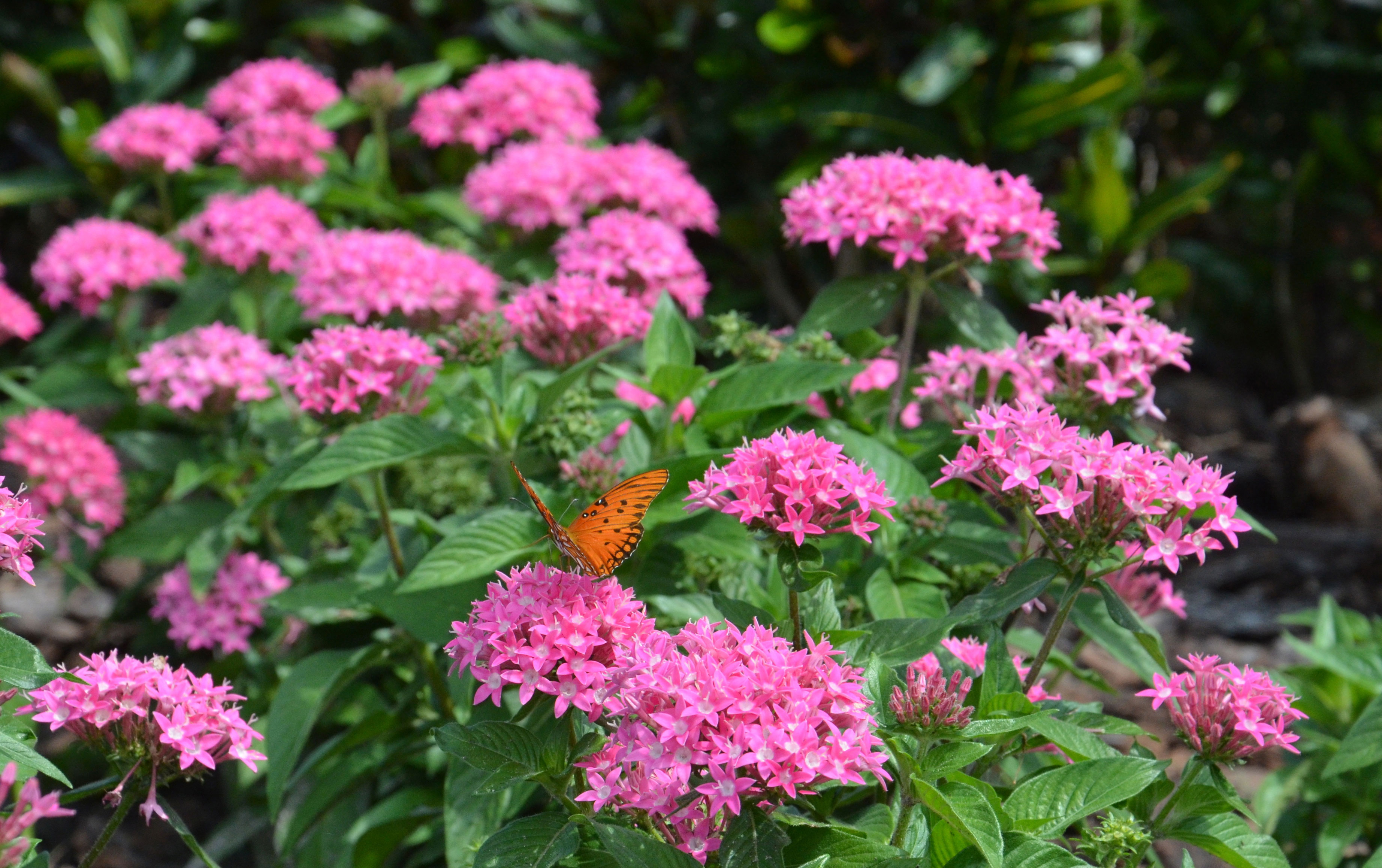 Multimedia gallery butterfly on flowers nsf national science a butterfly on flowers at the university of south florida campus izmirmasajfo