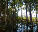 Riverine mangrove forest at the mouth of the Shark River Estuary in the Everglades.