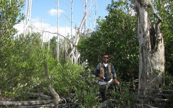 Five years after Hurricane Wilma, mangroves had regrown, found biologist Edward Castaneda-Moya.