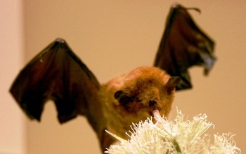 A Pallas long-tongued bat, Glossophaga soricina, eating from a flower