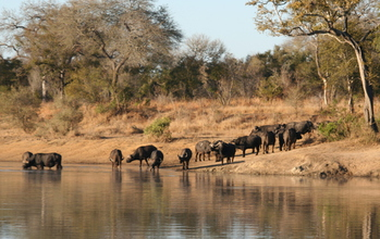 African buffalo at a watering hole in South Africa.