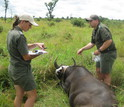 Researchers Rob and Jo Spaan with a buffalo