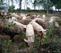 Pigs grazing on a field