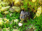 a pika peers out from behind thick moss in Oregon's Columbia River Gorge.