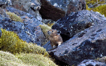A pika sits among rocks and moss