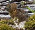 Pika next to a down tree