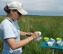 Ecologists empty bee bowls used to sample for pollinators in the field