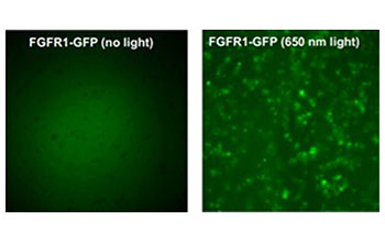 On left, the gene FGFR1 in its natural state; on right, the gene when exposed to laser light.