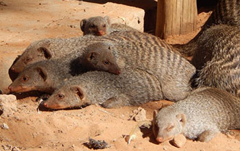 A group of mongoose