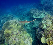 A reef shark swims above coral reefs in the biologists' study area.