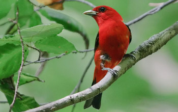 Male Scarlet Tanager on a branch