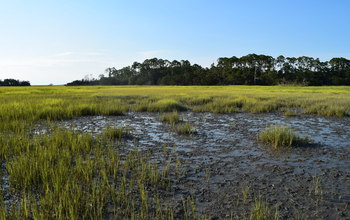 Ribbed mussels support salt marsh grasses during a 2016 drought at Sapelo Island, Georgia.