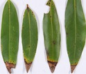 California bay laurel leaves infected with sudden oak death