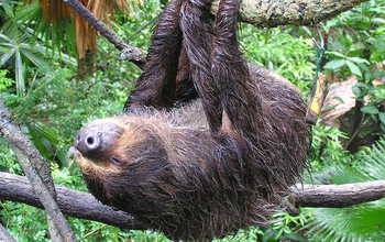 The diets of two-toed and three-toed arboreal sloths consist mostly of tree leaves.