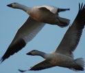 Two snow geese flying