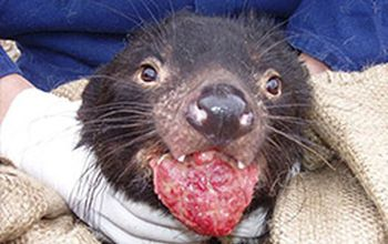 Tasmanian devil with Devil facial tumor disease, an infectious cancer,