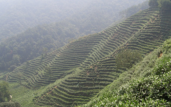 Photo of a tea plantation