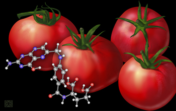 Researchers have bioengineered tomatoes that pack 25 times the normal amount of folate.