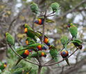 rainbow lorikeets in a tree