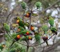 rainbow lorikeets in a tree