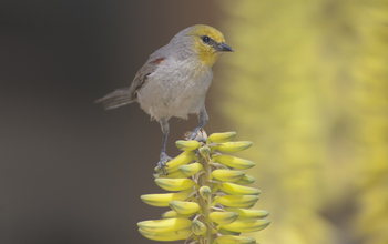 Most desert birds, like this verdin, have declined in the Phoenix, Arizona, region.