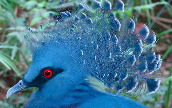 a crowned pigeon