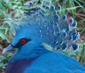 a crowned pigeon