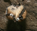 Two little brown bats with white-nose syndrome.