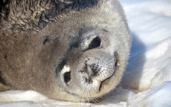 A Weddell seal in Antarctica.