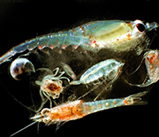Several species of zooplankton float in the sea.