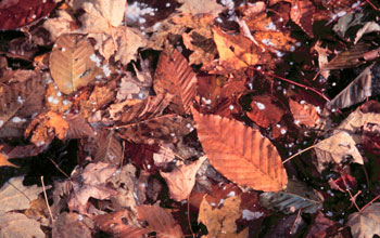 Photo showing fallen leaves on the ground.