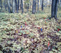 Image of a forest floor in a maple forest with red, yellow and blue tags on stakes.