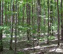 Image of a sugar maple forest.