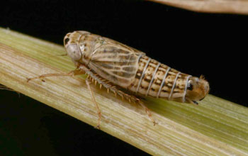 Image of a flightless leafhopper found in prairies that is listed as endangered in Illinois.