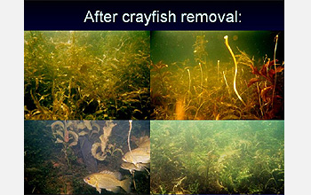 Four underwater scenes with text after crayfish removal.