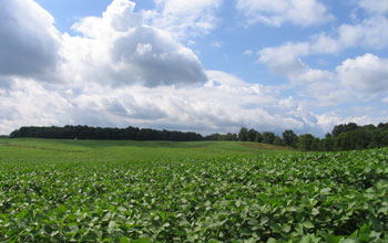 Image of a field of soybean.